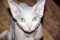Sphinx hairless cat, hairless, anti-allergenic cat, pet look in front Beautiful cat's face with hairless skin.