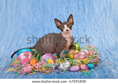 Sphinx kitten with Easter eggs