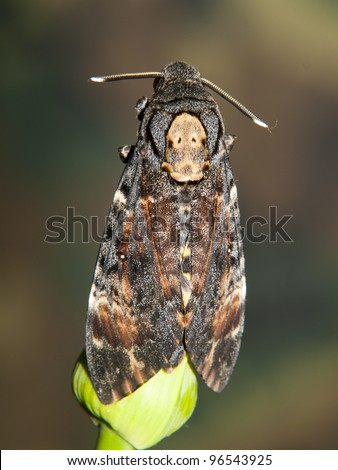 sphinx of death, Acherontia atropos