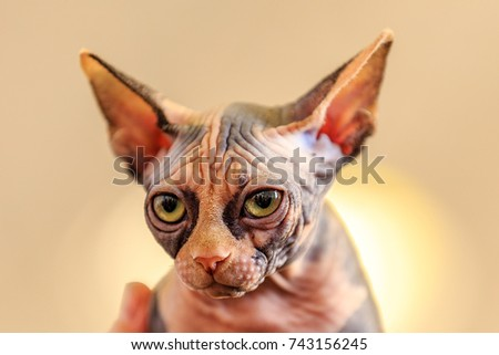Sphynx cat is a breed of cat known for its lack of coat. The Sphynx was developed through selective breeding, starting in the 1960s