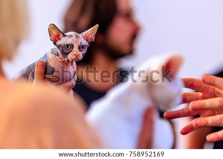 Sphynx cat is a breed of cat known for its lack of coat. The Sphynx was developed through selective breeding, starting in the 1960s. The skin should have the texture of chamois, as it has fine hairs.