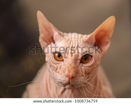 sphynx cat kittem