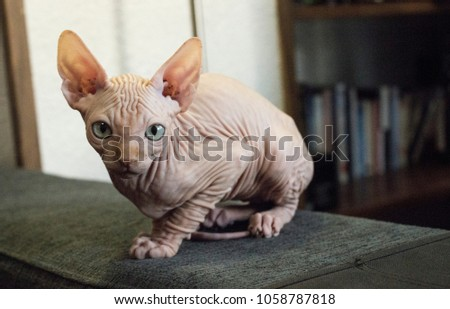 Sphynx cat naked standing at the sofa looking at camera