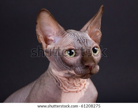 Sphynx chocolate kitten on a black background. Not isolated. - stock photo