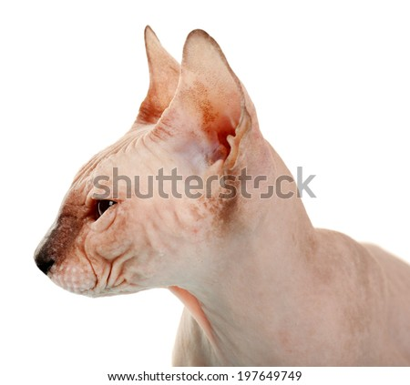 Sphynx hairless cat isolated on white #197649749
