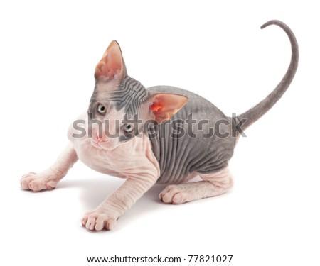 Sphynx kitten on a white background
