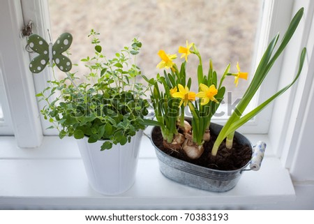 spice and daffodils