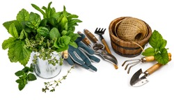 Spicy herbs in bucket with garden tools. Gardening farming. Still life with fresh spices, isolated on white background.
