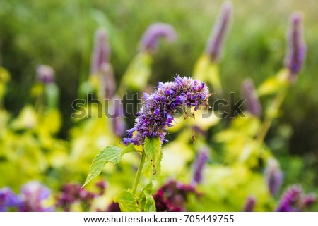 spicy herbs, oregano, oregano, sage #705449755