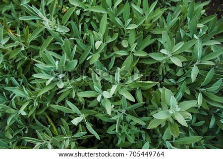 spicy herbs, oregano, oregano, sage #705449764