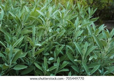 spicy herbs, oregano, oregano, sage #705449770