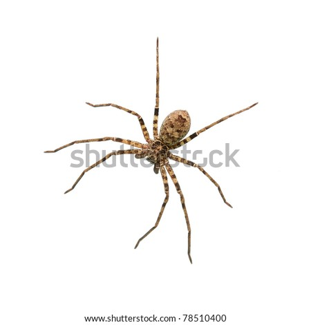Spider #78510400