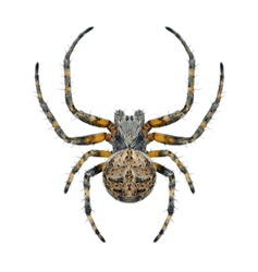 Spider Agalenatea redii (male) on a white background