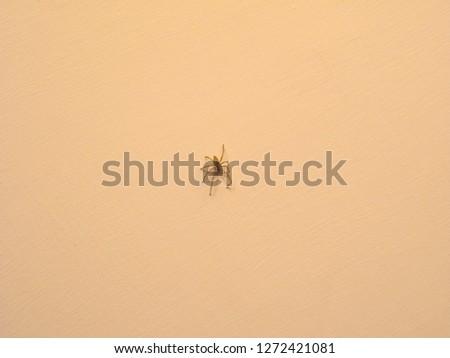 spider arachnide animal of phylum Ecdysozoa Arthropoda (arthropod) on a wall #1272421081