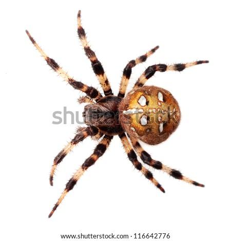 Spider Araneus diadematus