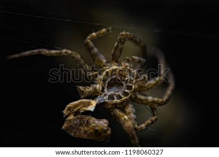 spider Araneus have to shed or molt Exoskeleton