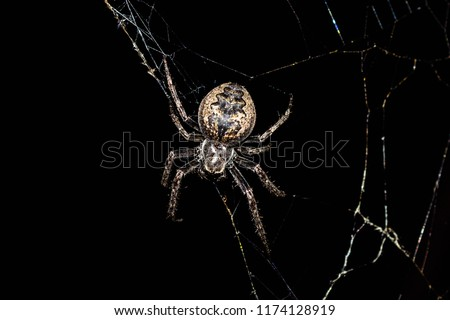 Spider Araneus is a genus of common orb-weaving spiders. It includes about 650 species, among which are the European garden spider and the barn spider.