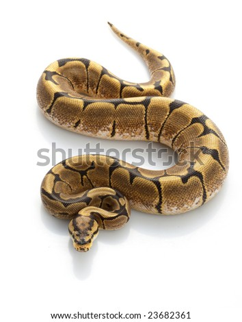 Spider Ball Python (Python regius) isolated on white background.