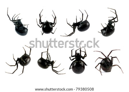Spider, Black Widow, Lacrodectus Hasselti, female, various views isolated on white, length 14mm