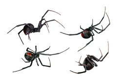 Spider, Black Widow, Red back, female, various views isolated on white