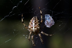 Spider cannibalism, female Garden spider (Araneus diadematus) killed male after copulation and wrapped him in silk