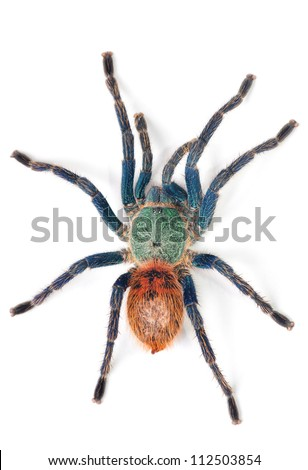 spider (chromatopelma cyaneopubescens) - stock photo