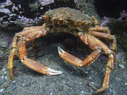 Spider crab in the Atlantic Ocean, off the coast of Cornwall