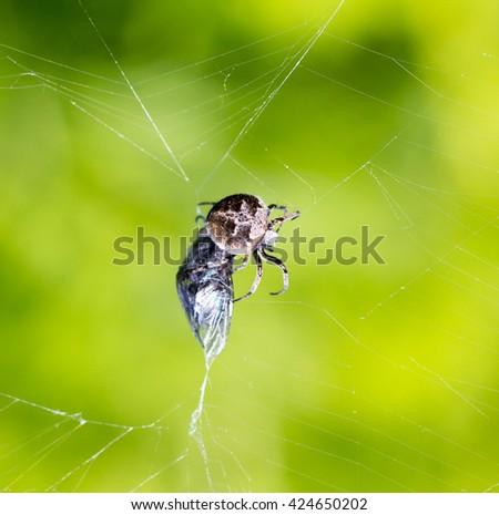 spider eats its prey - macro shot #424650202