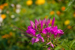 Spider flower,Close up of Cleome and blurred backgound. Cleome spinosa (Klee-OH-mee spye-NOH-suh)