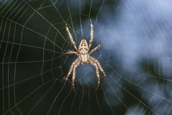Spider garden-spider (lat. Araneus) kind araneomorph spiders of the family of Orb-web spiders (Araneidae) sits on the web