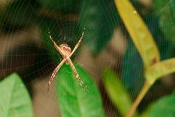 Spider garden-spider. Macro photo of garden spider on spider web over natural background in Brazil