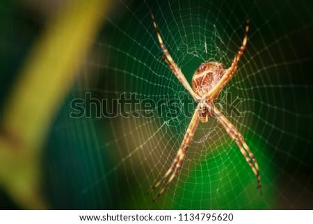 spider garden spider. macro...