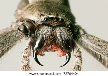 white tail spider bite symptoms. White-tailhowever, a realistic