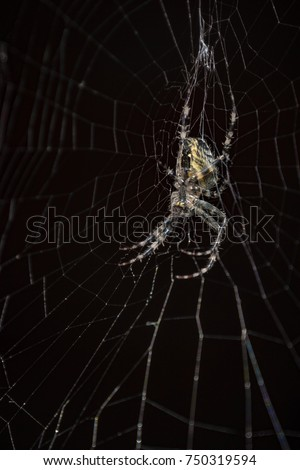 Stock Photo Spider in a black background. Spider on web a macro wildlife background. Macro spider on a black background. Triangle horror cobweb or spider web isolated on black background, vertical photo