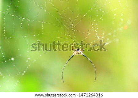 Spider in nature with long-horned, long-horned orb-weaver or curved spiny spider is common name in the genus Macracantha. #1471264016