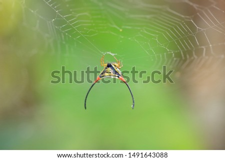 Spider in nature with long-horned, long-horned orb-weaver or curved spiny spider is common name in the genus Macracantha. #1491643088
