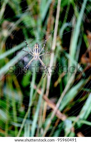 Spider in the center of a concentric web on a green background from a grass largely #95960491