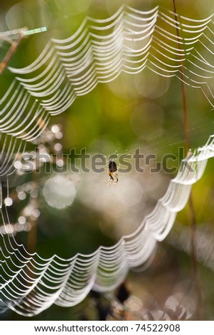 Spider in the web covered with morning dew