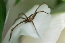 Spider. large spider with long legs on white leaves of a flower. spider eyes, close-up. macro photo of nature, arthropod, hunting spider, small predator. danger for insects, sits on flowers