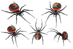 Spider Latrodectus tredecimguttatus, sometimes known as the Mediterranean black widow, the European black widow, or the steppe spider (genus Latrodectus), isolated on a white background
