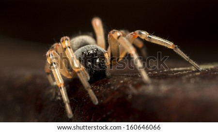 Spider macro detail close up picture over a wooden surface. Dangerous, hairy hunter. Blurred background.