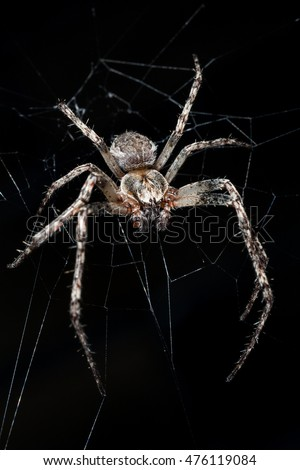 Stock Photo Spider. Macro nature. Close up of garden spider on natural black background. Scary halloween card