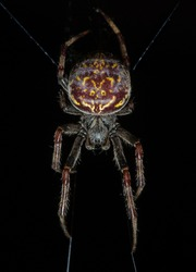 Spider macro photo (Araneidae) in Ecuador