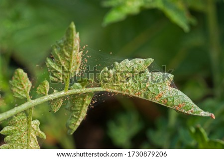 Spider mite infestation on a tomato crop Foto stock ©