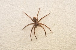 Spider (Neosparassus) on the wall. The hunter. Fear of spiders - Arachnophobia.