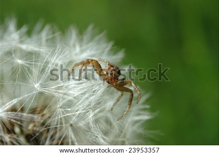 Spider on a Dandelion - stock photo
