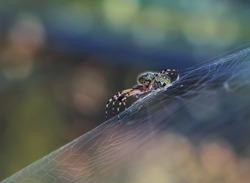 Spider on a spider web, waiting for the victim