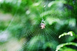 Spider on a spider web with a green background