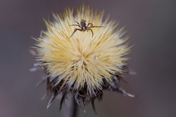 spider on dry plant. unusual dried wild flower. Dry plant in a web on nature. dry yellow fluffy forest flower. small spider, predator on the hunt. macro photo. early spring or autumn background