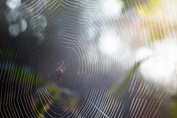 Spider on the web. Spider spins spider web in morning sunshine